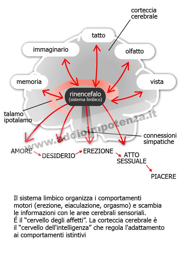 cervello ed erezione)